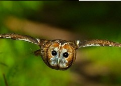 tawny_owl_andyrouse (1)