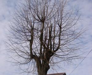 arboristika, medziu genejimas