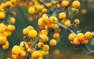 MOH-14916, Malus, Golden Hornet', SIERAPPEL, vrucht bes herfst, bomen