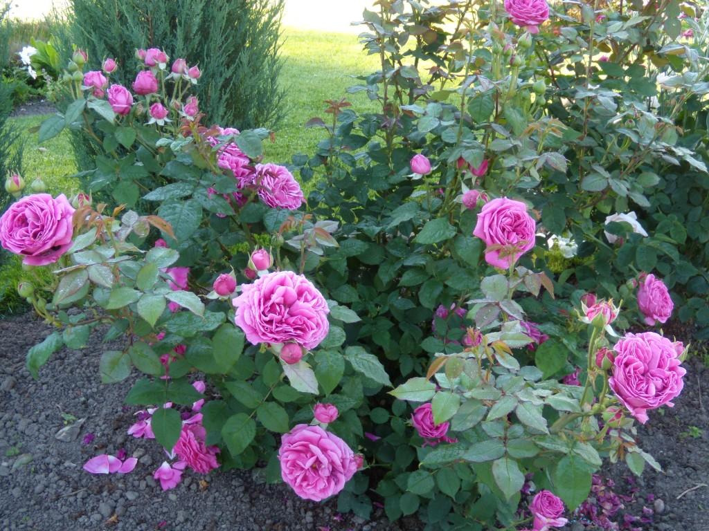 rožė 'Mme Isaac Pereire'