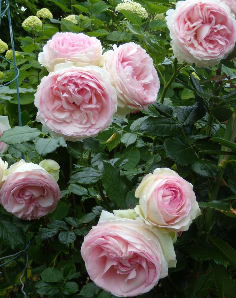 Roze Eden Rose