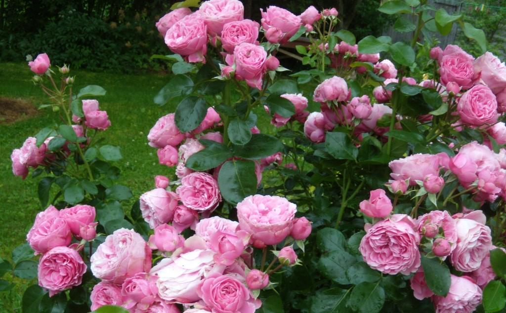 roze Leonardo da Vinci